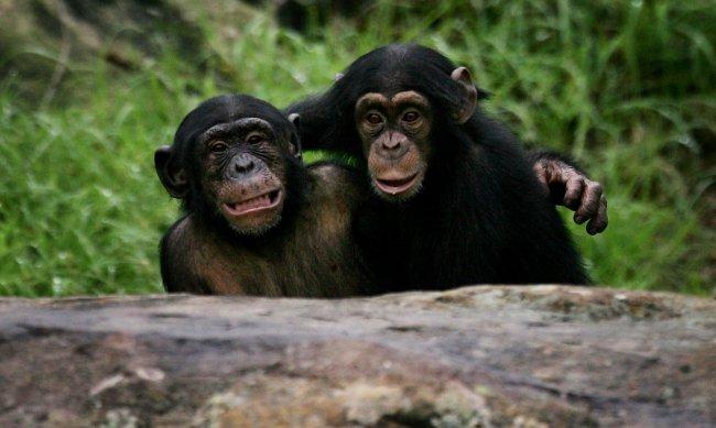 Hercules y Leo Chimpancés